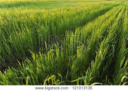 Green wheat field on sunset