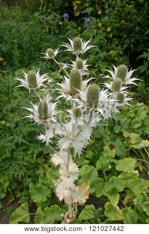 Eryngium Flowering In Garden
