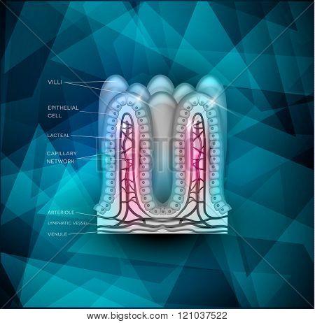 Intestinal Villi Background