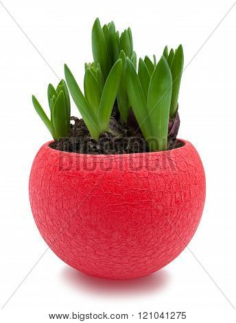 Hyacinth sprouts in red pot isolated with clipping path
