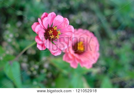 Pink Zinnia flower or Zinnia violacea in garden nature and park vintage