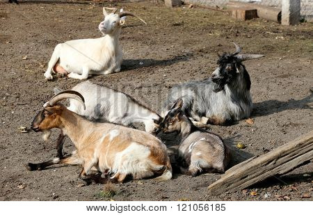 Herd Of Goats Lives On A Farm