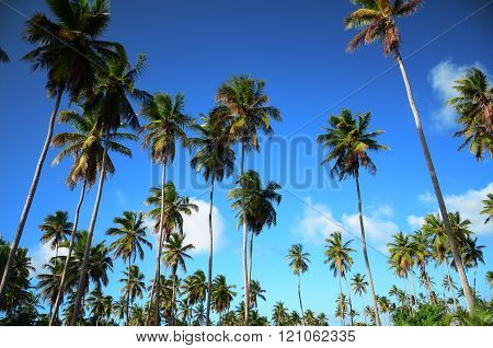 Coconut palm trees and blue sky in Punta Cana