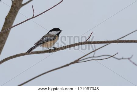 Springtime comes, Black cap chickadee, Poecile atricapillus, on a branch on a very early, grey sprin