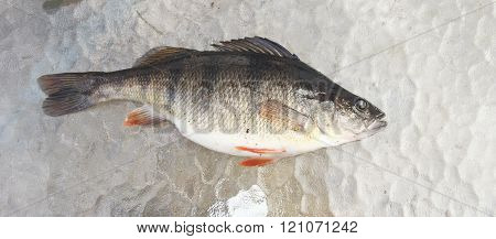 Freshwater Perch On Ice