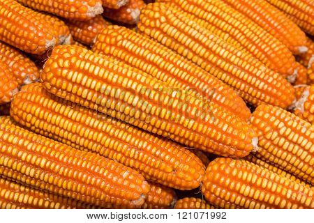 Yellow Dried Corn Bundle.