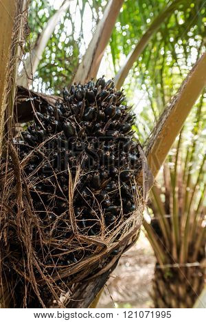 Oil Palm Fruits In The Palm Tree.