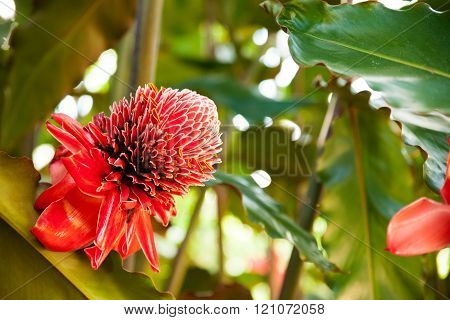 Close up of Torch ginger or Etlingera elatior blossom family zingiberaceae on Cuba. poster