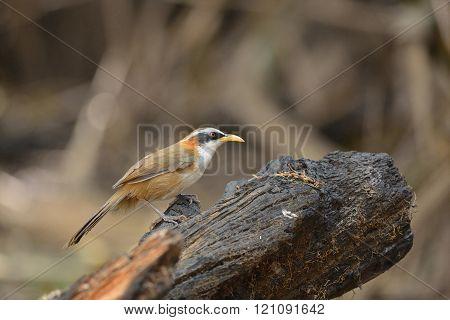 White-browed Scimitar-Babbler ,Bird and warm