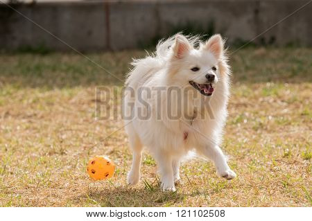 Happy Spitz dog playing at a park with a ball.