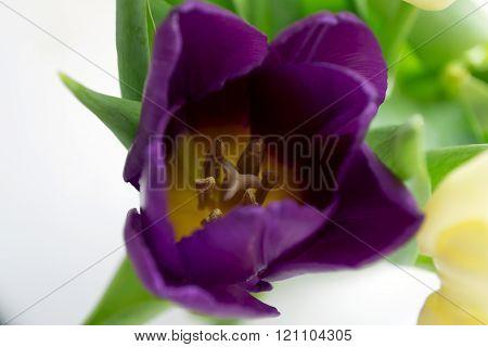 Photo Of Violet Tulip
