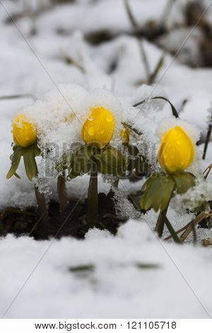 winter aconites covered in newly fallen snow