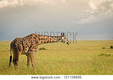 Giraffe In Masai Mara National Reserve, Kenya.