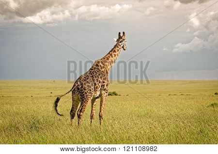 Giraffe In Masai Mara National Reserve, Kenya.