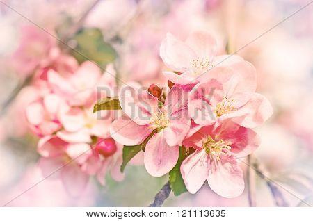 Apple Flowers, Spring Blossom