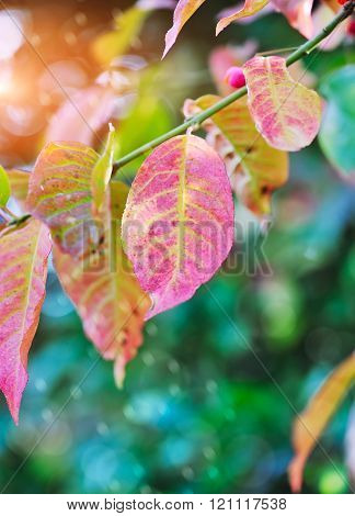 Beautiful Autumn Background Is With The Sprig Of Spindle Tree (e