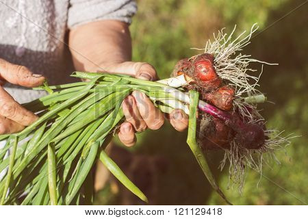 Organic Young Onions