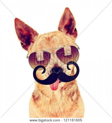 a cute chihuahua with a sunglasses on and a mustache in front of him with his tongue out on an isolated white background toned with a retro vintage filter instagram app or action effect