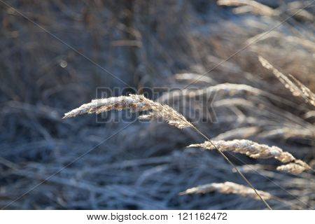 Closeup of the vernal grasses under the snow