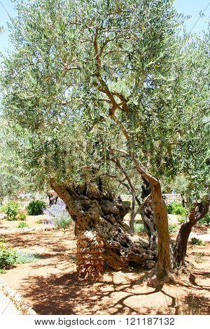 Olive, Gethsemane garden in Jerusalem