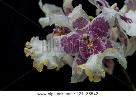 Still life - Orchids_3