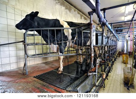 Dairy Cow In An Automated Milking Parlour