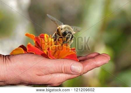 Bee And Orange Flower In A Hand