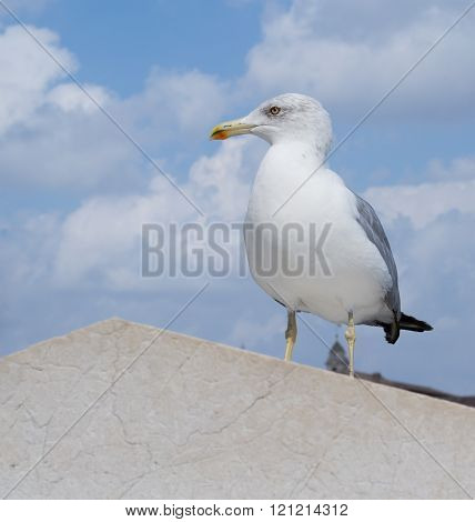 European herring gull (Larus argentatus) looks leftside with European city in the background