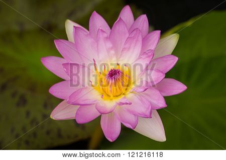 Beautiful Pink Waterlily.