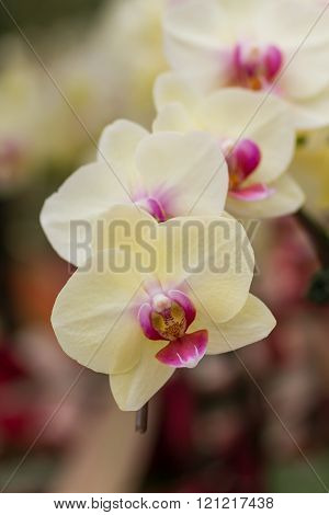 Closeup White Butterfly Orchids.