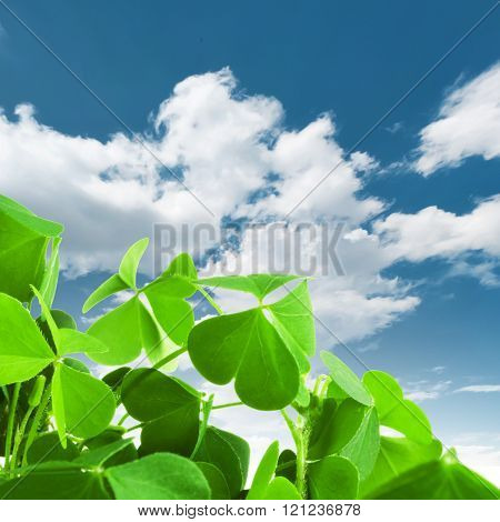 Clover plant macro shot, against a blue sky with clouds