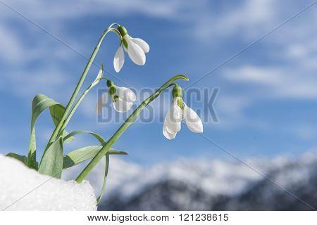 snowdrop flowers.black background.Harbingers of spring season.flowers used in medicine.