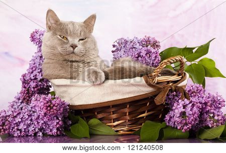 British kitten rare color and spring lilac flowers
