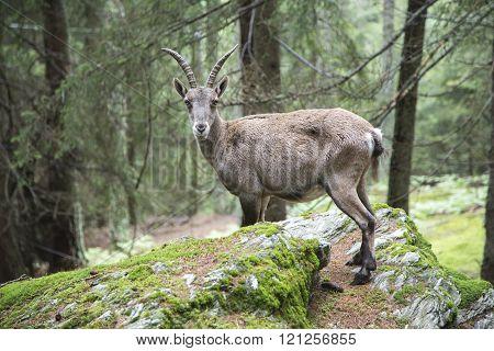 Female Alpine Ibex Looking At Camera