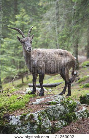 Female alpine ibex standing on a rock