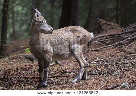 Baby Alpine Ibex Looking Around