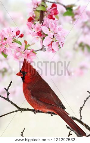 Cardinal Amid Spring Tree Blossoms