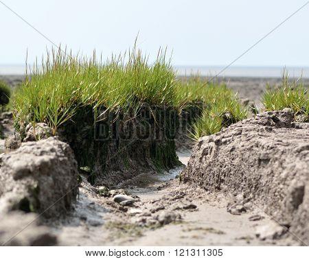 Common cord-grass (Spartina anglica) tussocks