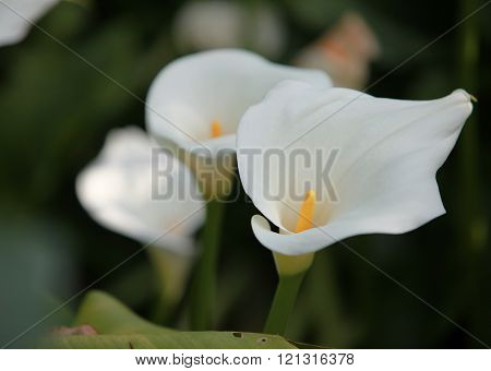 calla white flowers