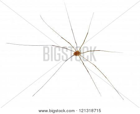 Daddy Long Legs isolated on white background. poster