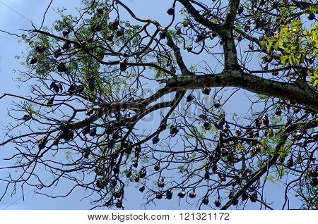 Bats hanging on a tree branch in the Royal Botanical Garden in Sri Lanka.