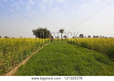 Mustard Crops In Rajasthan