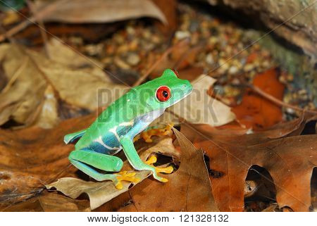 Red-eye tree frog Agalychnis callidryas in natural environment