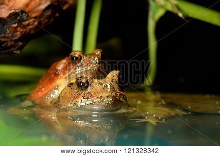 Two brown frogs mating in water in natural environment