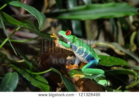 Red-eye tree frog Agalychnis callidryas in natural environment