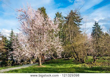 Spring White Cherry Blossoms 4