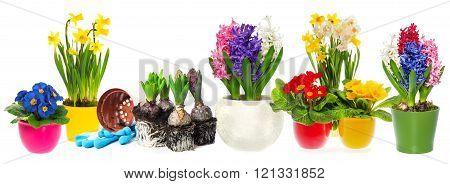 Fowers Hyacinth, Narcissus Primroses. Spring Gardening