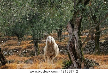 Wooly Sheep In The Olive Grove