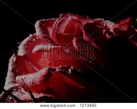Rose Apply Image