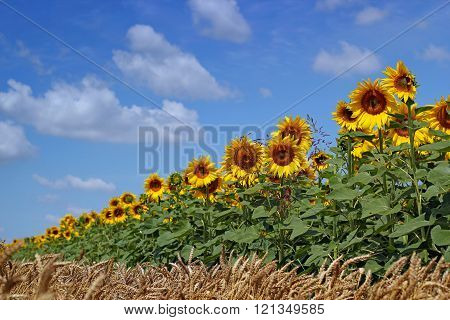 Blooming Field Of Sunflowers On Blue Sky